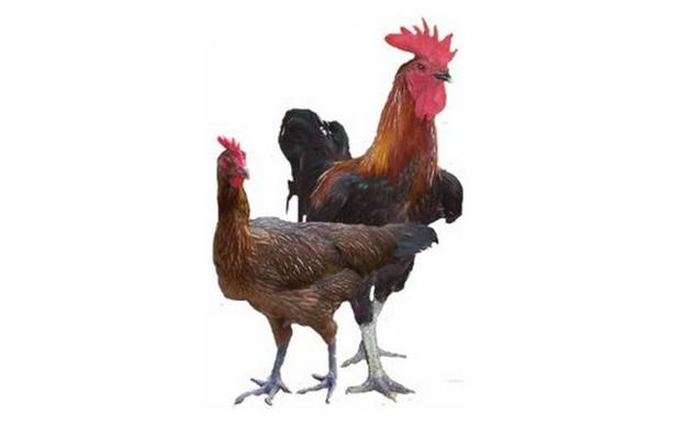 gambar ayam kampung